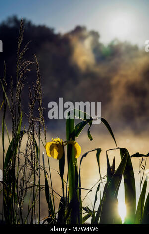 Early morning on lake with fog and golden iris, other swamp plants in the natural foreground, dawn, first rays of - Stock Photo