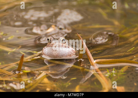 Male common frog (Rana temporaria) croaking (calling to attract a female) in a breeding pond in Surrey, UK, during - Stock Photo