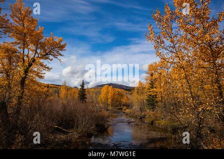Golden aspen in fall along the South Fork Cut Bank Creek, Montana - Stock Photo