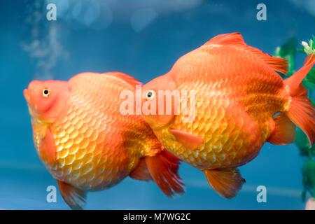 One of most popular pet ornamental fish is goldfish or Carassius auratus, Family Cyprinida. Ranchu or lionhead goldfish - Stock Photo