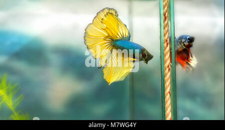 Halfmoon betta Colorful swimming in fish tank. This is a species of ornamental fish used to decorate the scene in - Stock Photo