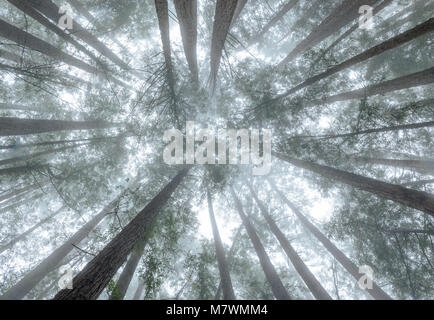 Cathedral Grove, Mount Tamalpais State Park, Marin County, California - Stock Photo
