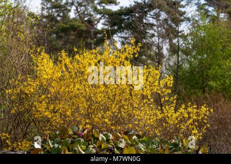 Border Forsythia, Forsythia (Forsythia hybrid) - Stock Photo