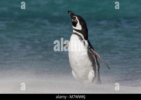 Magellanic Penguin - Stock Photo
