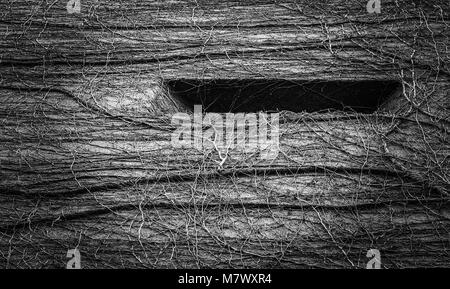 Natural abstract pattern created by vines growing a building. Wild and surreal textured pattern in black and white, - Stock Photo