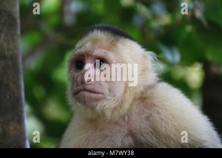 a white-faced capuchin in the Manuel Antonio National Park in Costa Rica - Stock Photo