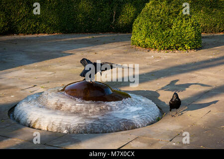 Ravens perching and drinking water on frozen iced small fountain on cold and sunny winter morning. - Stock Photo