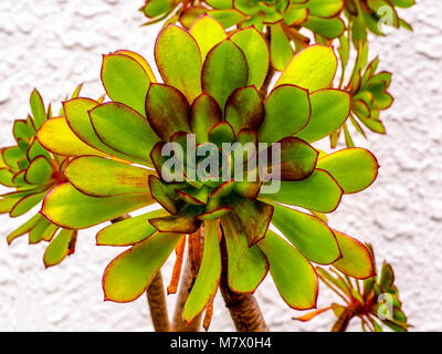 Bright succulent plant, Jovibarba, with red edges and tiny prickles. Closeup of round Jovibarba succulent in outdoor - Stock Photo