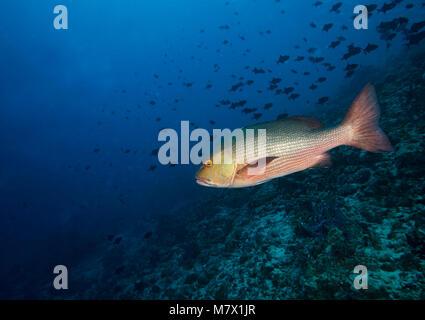 Red reef snapper, Lutjanus bohar, Bathala, Maldives, Indian ocean, Ari Atoll - Stock Photo