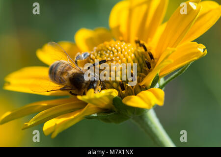 close up macro of western honey bee apis mellifera on yellow  flower collecting nectar - Stock Photo