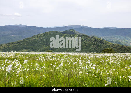 Fields of narcissuses in springtime, Italy. - Stock Photo