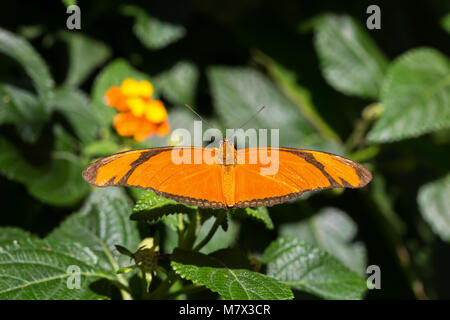 Beautiful Julia Heliconian (Dryas iulia) butterfly isolated in the nature - Stock Photo
