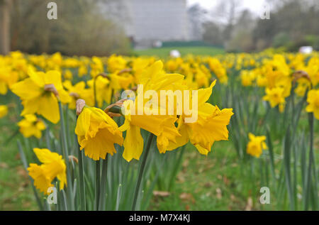 Clandon Park House, West Clandon, Guildford - Pics of a field of daffodils at Clandon Park in the gardens, which - Stock Photo