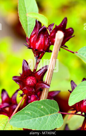 Red Roselle Fruits plant - Stock Photo