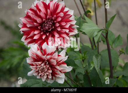 Bouquets of red dahlias in a street market. Selling flowers. - Stock Photo