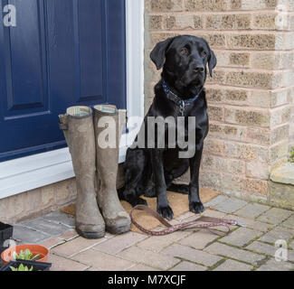 A black labrador is sitting on a doorstep with a dog lead at his feet waiting for a walk. His owner's wellington - Stock Photo