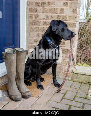 A black labrador sits on a doorstep carrying a dog lead. A pair of muddy wellingtons are next to him ready for his - Stock Photo