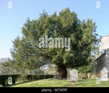 Ancient yew tree, Taxus baccata, dated at 1700 years old All Saints Church, Alton Priors, Wiltshire, England, UK - Stock Photo