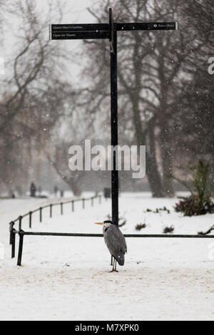 LONDON, UK – MAR 2018: Grey Heron in London Regent's Park during rare snowfall - Stock Photo