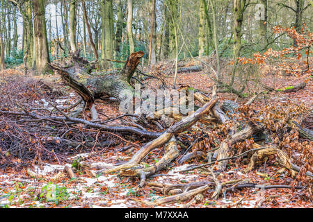 Fallen tree  with thick fluted trunk and branches broken off in a forest is to digest slowly to food for new trees - Stock Photo