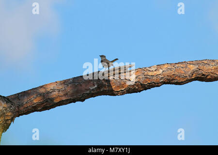 Northern mockingbird perched on a branch ( mimus polyglottos ) - Stock Photo