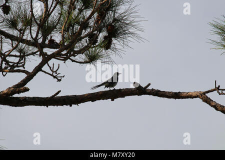 Silhouette of a northern mockingbird ( Mimus polyglottos ) perched on a branch in a pine tree, Florida, USA - Stock Photo