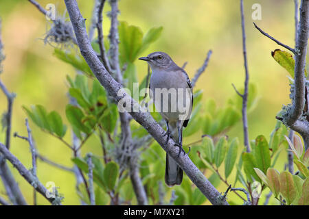 Northern mockingbird ( mimus polyglottos ) perched on a branch - Stock Photo