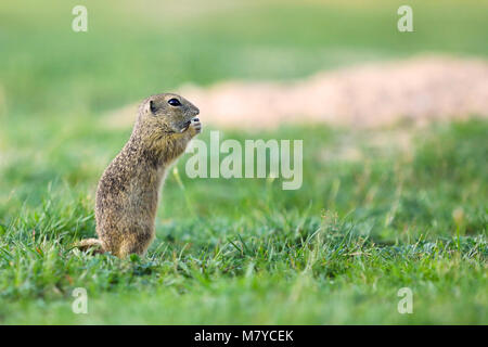 European ground squirrel is endemic to central and eastern Europe - Stock Photo