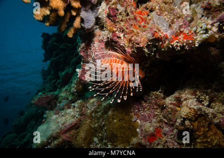clearfin lionfish, Pterois radiata, on coral reef, Bathala, Maldives - Stock Photo