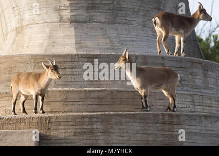 Group of  Capra pyrenaica - Stock Photo