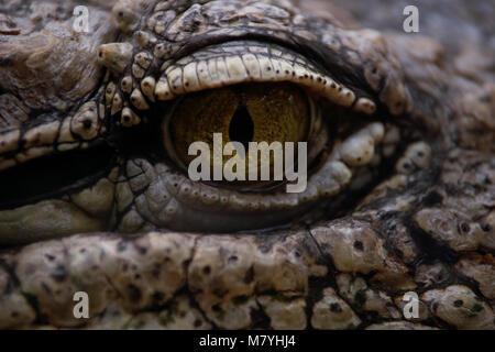 Detail of the eye of a nile crocodile - Stock Photo
