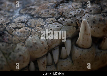 Detail of the fangs of a nile crocodile - Stock Photo