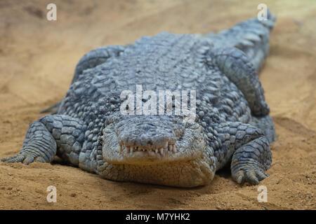 Male nile crocodile resting in the sand - Stock Photo
