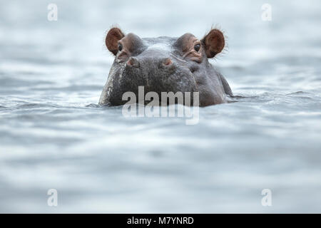 Hippo in Chobe National Park, Botswana - Stock Photo