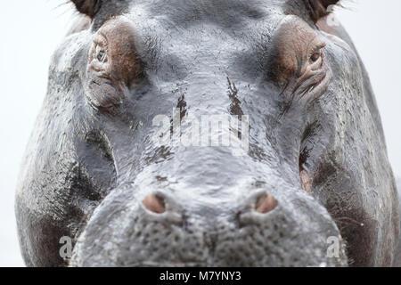 Hippo in Chobe National Park, Botswana - Stock Photo