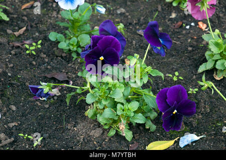Sydney Australia, flowerbed with dark purple pansies - Stock Photo