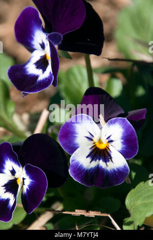 Sydney Australia, dark purple and white flowering pansy plant - Stock Photo