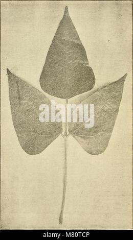 Bulletin de la Société royale de botanique de Belgique (1912) (20427999712) - Stock Photo