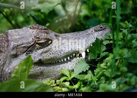 Wild crocodile head with claw in green foliage - Stock Photo