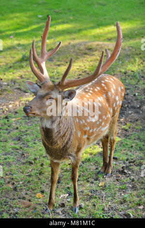 Sika deer, also known as Japanese deer on a glade - Stock Photo