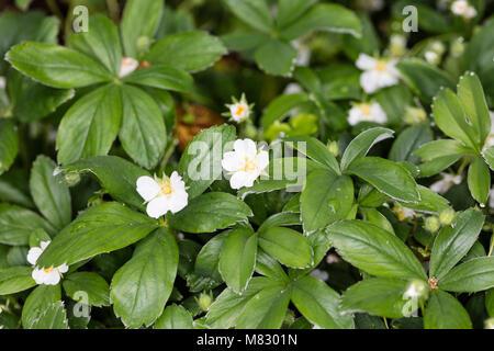White cinquefoil, Vit fingerört (Potentilla alba) - Stock Photo