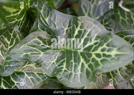 Italian Lords-and Ladies, Italiensk munkhätta (Arum italicum) - Stock Photo