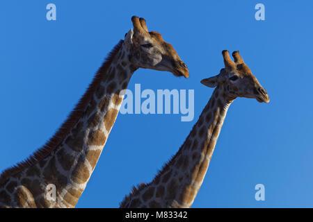 South African giraffes (Giraffa giraffa giraffa), against a blue sky, Kgalagadi Transfrontier Park, Northern Cape, - Stock Photo