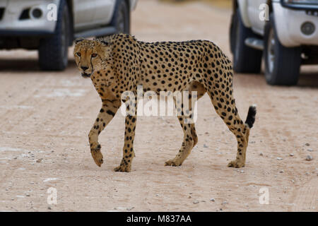 Cheetah (Acinonyx jubatus), male crossing a dirt road in front of cars, Kgalagadi Transfrontier Park, Northern Cape, - Stock Photo