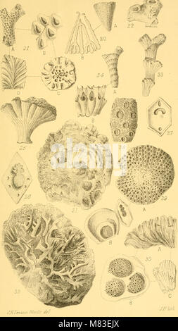 Corals and bryozoa of the neozoic period in New Zealand (1880) (20076590744) - Stock Photo