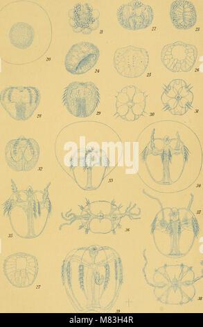 Ctenophores of the Atlantic coast of North America (1912) (20527444848) - Stock Photo