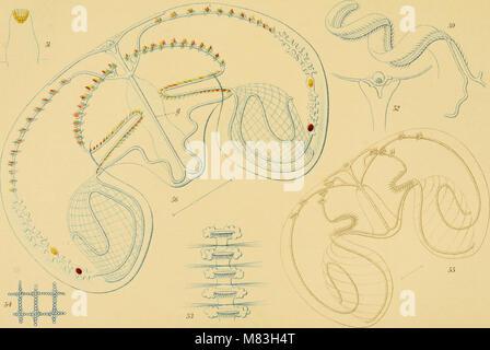 Ctenophores of the Atlantic coast of North America (1912) (20527465738) - Stock Photo