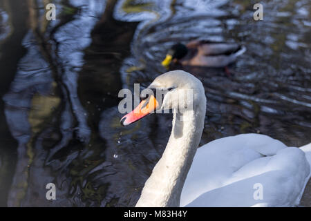 A mute swan swimming on the lake in Wandsworth Common, London, England - Stock Photo