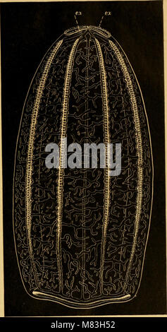Ctenophores of the Atlantic coast of North America (1912) (20528723659) - Stock Photo