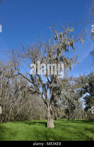 A single Southern Live Oak Tree in the foreground with Spanish Moss hanging from its bare branches, one early Spring - Stock Photo